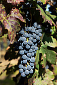 Dolcetto Grapes, Cisterna d' Asti, Monferrato, Piedmont, Italy