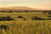 cereals fields around Tamri, village on Atlantic Coast between Agadir and Essaouira, Morocco, North Africa