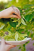 Picking linden tree flowers for infusion