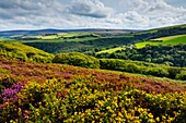 Heather and gorse in bloom in early Autumn on Exmoor National Park near Porlock in Somerset England Farmland and Dunkery Hill lie in the distance