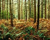 Pine trees surrounded by bracken in Wrington Warren woodland near Wrington, Somerset, England, United Kingdom