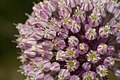 Broadleaf wild Leek Allium ampeloprasum