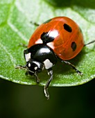 Close up photograph of the Seven-spot ladybird Coccinella septempunctata