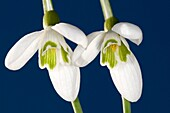 two snowdrops in close up against a clear blue spring sky
