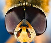 extreme close up of the eyes and face of the syrphid or hoverfly Eupeodes corollae