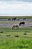 Horses in a pasture, Loog , North Sea Island Juist, East Frisia, Lower Saxony, Germany
