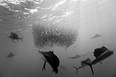 Atlantic Sailfish hunting Sardines, Istiophorus albicans, Isla Mujeres, Yucatan Peninsula, Caribbean Sea, Mexico
