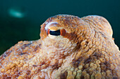 Eye of Common Octopus, Octopus vulgaris, Cap de Creus, Costa Brava, Spain