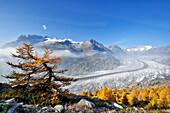 Larches in autumn colours in front of glacier Grosser Aletschgletscher, UNESCO World Heritage Site Swiss Alps Jungfrau - Aletsch, Bernese Alps, Valais, Switzerland, Europe