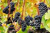 Rote Weintrauben an herbstlich verfärbtem Weinstock, Genfer See, Weinberge von Lavaux, UNESCO Welterbe Weinbergterrassen von Lavaux, Waadtland, Schweiz, Europa