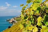 Weintraube an Weinstock mit Genfer See unscharf im Hintergrund, Genfer See, Weinberge von Lavaux, UNESCO Welterbe Weinbergterrassen von Lavaux, Waadtland, Schweiz, Europa