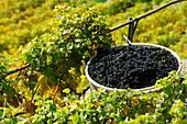 Grapes in barrel during grape harvest, lake Geneva, Lavaux Vineyard Terraces, UNESCO World Heritage Site Lavaux Vineyard Terraces, Vaud, Switzerland, Europe