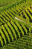 View at vineyard, lake Geneva, Lavaux Vineyard Terraces, UNESCO World Heritage Site Lavaux Vineyard Terraces, Vaud, Switzerland, Europe