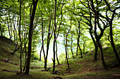 Deciduous Forest at the Chalk cliff coast, Ruegen Island, Jasmund National Park, Baltic Sea, Germany, Europe