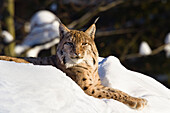 European lynx in the snow, Nationalpark Bayrischer Wald, Bavaria, Germany, Europe