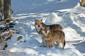Wolves in the snow, Bavarian Forest National Park, Bavaria, Germany, Europe