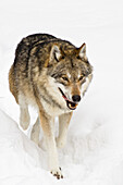 Wolf in the snow, Bavarian Forest National Park, Bavaria, Germany, Europe