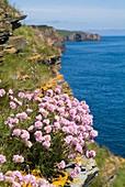 Armeria Maritima THRIFT CAITHNESS Sea pinks Thrift Armeria Maritima on Caithness seacliff North Sea coast