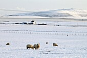 Bay of Firth FIRTH ORKNEY Sheep feeding in white snow fields and house