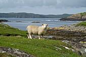 Nibon GUNNISTER SHETLAND Shetland lamb looking on rocky shores