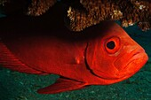 Israel, Eilat, Red Sea, - Underwater photograph of a Crescent-tail Bigeye Priancanthus blochii