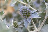 Flora of the Odiel Marshes Natural Park. Biosphere Reserve. Thistle Tues. Eryngium maritimum. Huelva. Andalucia. Spain