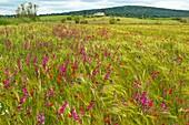 Flowering in cereal crops. Badajoz. Estremadura. Spain.