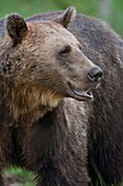 Brown bear -Ursus arctos-, Vartius, Finland. Wild animal under non-controlled conditions