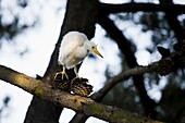 Snowy Egret Egretta thula chick walks up and down a branch looking for its nest near San Francisco, California This colony of egrets chose to mate, breed and birth above a suburban residential jogging path