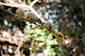 A male fox tree squirrel pursues a female squirrel in an attempt to mate in Northern California