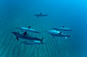 Hawaiian Spinner Dolphin pod Stenella longirostris underwater in Honolua Bay off the northwest coast of Maui, Hawaii, USA Pacific Ocean Spinner Dolphins occur in pelagic tropical waters in all the world's major oceans Although they mainly live in the o