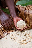 Dorze in the Guge mountains of Ethiopia, preparation of food dough and bread called Kotcho from the stem of a cooking banana Enset, Ensete, musa paradisiaca The raw material extracted from the stems is fermented The tribe of the Dorze is living high up