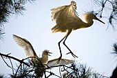 Snowy Egret Egretta thula parent attempts to escape hungry chick near San Francisco, California This colony of egrets chose to mate, breed and birth above a suburban residential jogging path