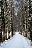 Alley of birch trees in winter, Rosenheim, Upper Bavaria, Bavaria, Germany, Europe