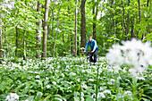 Cyclist betwee bear's garlin in riparian forest, Leipzig, Saxony, Germany