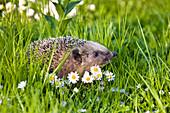 European Hedgehog (Erinaceus europaeus) in flower meadow, Bavaria, Germany