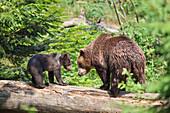 Brown bear (Ursus arctos) and cub on tree log, Bavarian Forest National Park, Bavaria, Germany