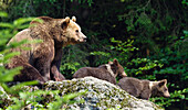 Brown bear (Ursus arctos) and two cubs, Bavarian Forest National Park, Bavaria, Germany