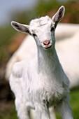 White Saannen goat kid