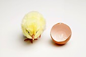 New Born Chick Walking Away from a Broken Eggshell, High Angle