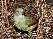 a green satin bowerbird, Ptilonorhynchus violaceus, building its bower This is a young male which has not yet changed to the glossy black of the adult Male bowerbirds are between 5 -7 years old before they start to acquire their black plumage …