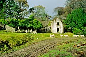 Sheep before derelict Anglo Irish estate house at Kippur in the Wicklow Mountains south of Dublin, Ireland
