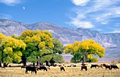 Inyo National Forest, California, USA Cattle grazing in meadow with Inyo Mountains behind with half moon rising Near Big Pine