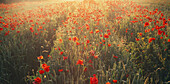 Poppies in wheat field at sunrise, Amiens, Picardy, France