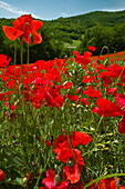 Poppies on hillside, Valnerina - near, Umbria, Italy