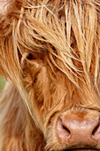 Highland Cattle, Ambleside, Cumbria, UK - England