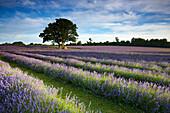Lavender farm, Banstead, Surrey, UK - England