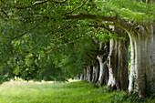 Avenue of ancient Beech trees, Kingston Lacy, Dorset, UK - England