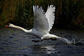 Swan flying up, Achterwasser, Loddin, Usedom island, Mecklenburg-Western Pomerania, Germany