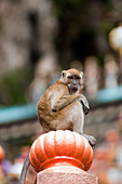 Monkey at the climb to the entrance of Batu-Caves, north von Kuala Lumpur, Malaysia, Asia